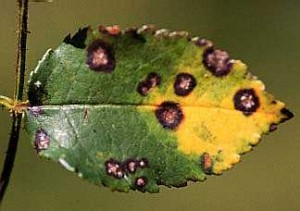 Anthracnose Tree and Shrub Disease