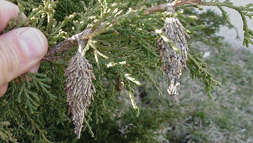 Bagworm Tree and Shrub Insect