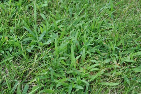 Crabgrass Removal
