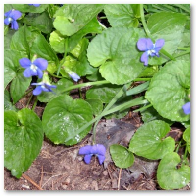 Violets a Perennial Lawn Weed