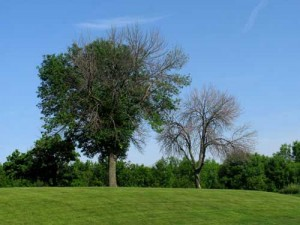 Dead & Dying Ash Trees